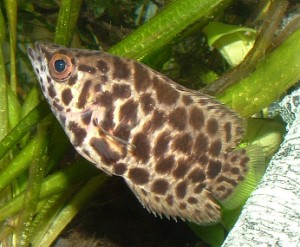 south american leaf fish, Monocirrhus polyacanthus