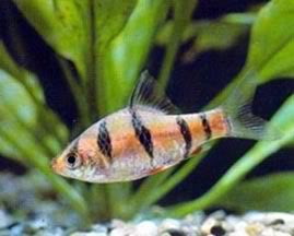 tiger barb, Barbus tetrazona