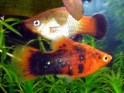 plati fish, Xiphophorus maculates, platies, freshwater aquarium fish