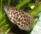 south american leaffish, Monocirrhus polyacanthus, freshwater aquarium fish