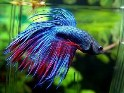 betta fish, Betta Splendens,Siamese fighting fish, fighting fish, freshwater aquarium fish