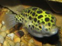 green puffer, freshwater aquarium fish