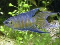 paradise fish, Macropodus opercularis, freshwater aquarium fish