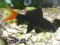 red-tailed black shark, Epalzeorhynchus bicolor, freshwater aquarium fish