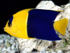 Bicolor, angelfish, angels, angel, Centropyge, Oriole