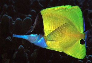 longnose butterflyfish, Forcipiger flavissimus