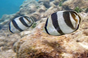 banded butterfly fish, Chaetodon striatus