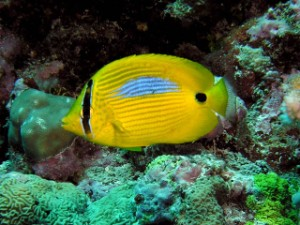 blue butterflyfish, saltwater aquarium fish