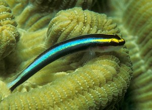 neon cleaning goby, Elacatinus evelynae