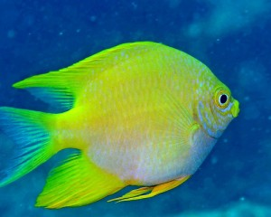 damselfish, saltwater aquarium fish