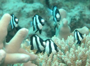humbug damselfish care