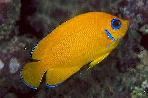 Lemonpeel, Angelfish, angel, angels, Centropyge flavissima