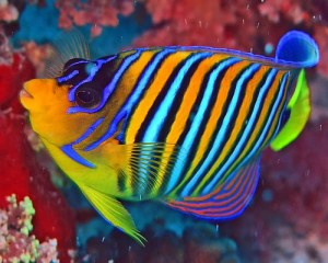 regal, royal, angelfish, Pygoplites diacanthus