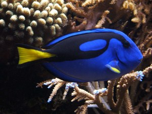 regal pacific blue tang, Paracanthurus hepatus