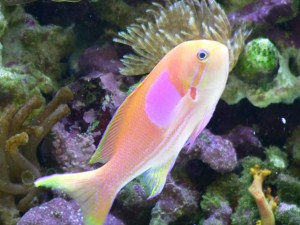 Anthias, Serranidae