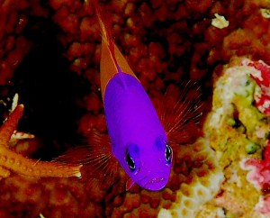 bicolor dottyback, Pseudochromis paccagnellae