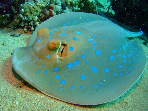 blue, dot, stingray, ray, rays, Taeniura lymma, spotted, bluespotted, ribbontail