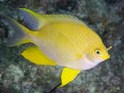 Amblyglyphidodon aureu,golden, damselfish, yellow, lemon, lemonpeel, damsel, saltwater aquarium fish