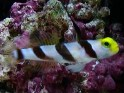 Stonogobiops nematodes, black-ray, shrimp, prawn goby, high-fin, goby, gobies, saltwater aquarium fish