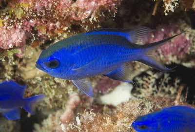 blue chromis, Chromis cyaneus, saltwater aquarium fish