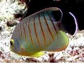 saltwater aquarium fish,Eibli, Angelfish, angel, angels, Centropyge