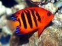 Centropyge loricul, flame, angelfish, dwarf, angel, angels, saltwater aquarium fish