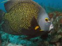 french, angelfish, Pomacanthus paru, saltwater aquarium fish