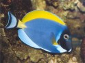 surgeonfishes, surgeonfish, Acanthurus leucosternon, Powder, blue, tang, tangs, saltwater aquarium fish