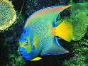 queen, angelfish, Holacanthus ciliaris, angel, saltwater aquarium fish