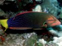 gaimard, red, queen, yellow-tail, coris, wrasse, saltwater aquarium fish