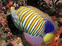 regal, royal, angelfish, Pygoplites diacanthus, angel, saltwater aquarium fish