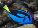 Paracanthurus hepatus, pacific blue, regal, tang, tangs, surgeonfish, saltwater aquarium fish
