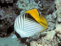 Threadfin Butterflyfish, Kapuhili, Auriga Butterflyfish, Cross-Stripe Butterflyfish, Chaetodon auriga, saltwater aquarium fish
