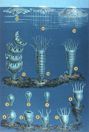 moon jellyfish lifecycle, W