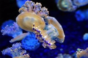 pet blue jellyfish, W